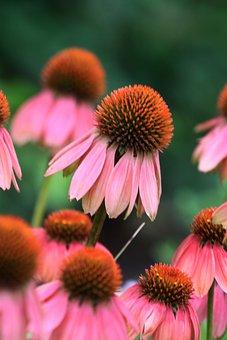 Pink, Flowers, Nature, Soft, Flora, Fruchtkopft
