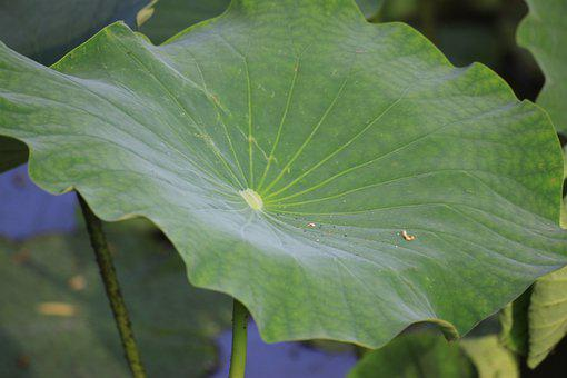 Lotus Leaf, Pond, Nature, Water Lilies, Buddhism