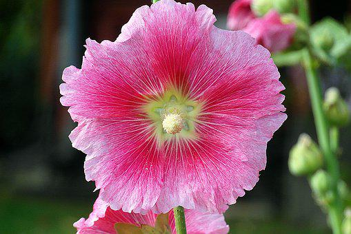 Mallow, Flower, Pink, Paint, Clear, Colored, The Petals
