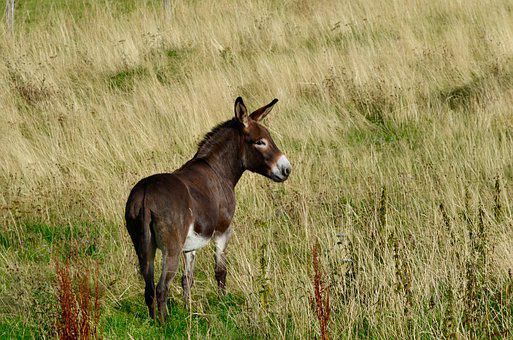 Donkey, Pasture, Animal, Nature, Meadow