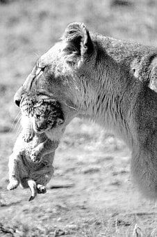 Lion, Lioness, Mother, Child, Baby, Lion Babies, Female