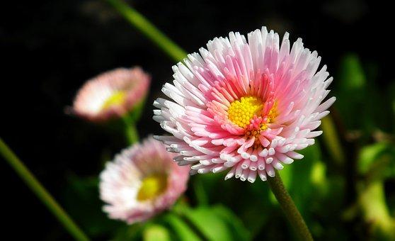 Daisies, Flowers, Summer, Plants, Garden, Nature, Pink