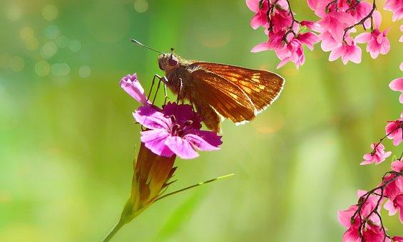 Karłątek Kniejnik, Butterfly Day, Powszelatkowate
