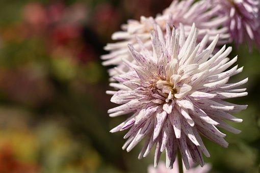 Lyon, Dahlia, Pink, Garden, Romantic, White, Plant