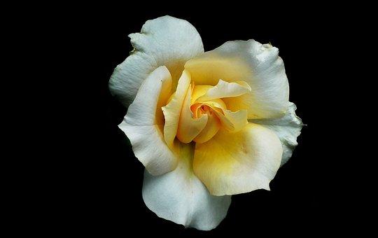 Rose, Flower, Tea, Nature, Beauty, Garden, Summer