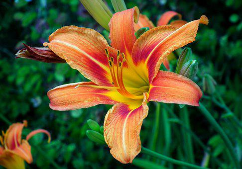 Lily, Flower, Plant, Summer, Garden, Beauty, Nature