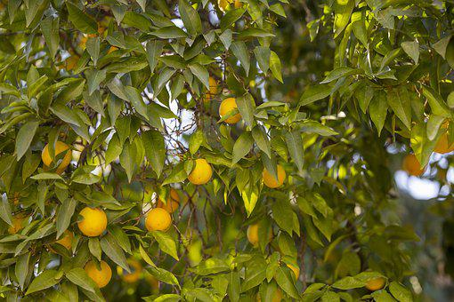 Tangerine, Tree, Field, Agriculture, Garden, Organic