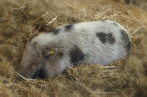 Pig, Farm, Breeding, Pork, Agriculture, Swine, Animals