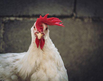 Hen, Gallo, Feathers, Chicken, Animal, Poultry, Bird