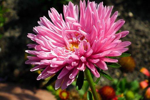 Aster, Flower, Pink, Macro, Garden, Summer, Nature