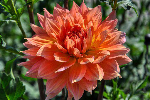 Dahlia, Bloom, Ornamental Flower, Asteraceae, Garden