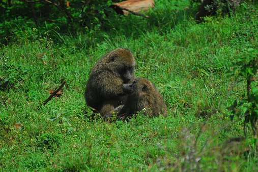 Baboon, Baboons, Monkey, Nature, Primate