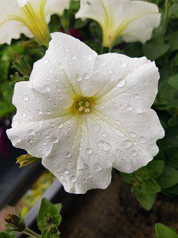 Petunia, Flower, Close Up, Raindrop, Nature, Flowers