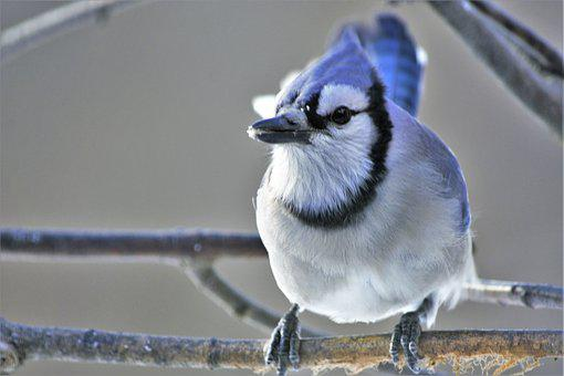 Bird, Bluejay, Perched, Closeup, Snow, Mouth, Open