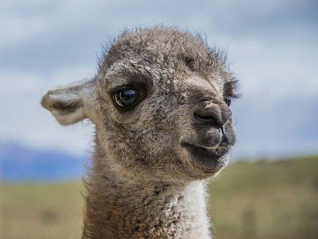 Animal, Head, Cute, Sweet, Lama, Nature, Portrait