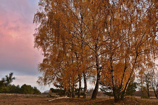 Birch, Deciduous Trees, Trees, Grove Of Trees