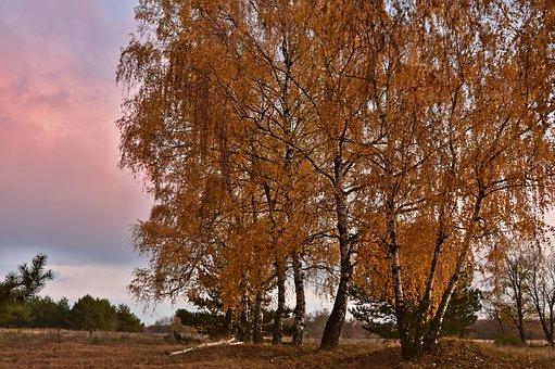 Birch, Deciduous Trees, Trees, Grove Of Trees