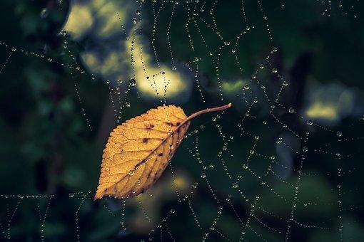 Cobweb, Dewdrop, Leaf, Fall Color