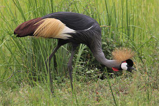 East African Crested, Crane, Grey, Crowned, Bird