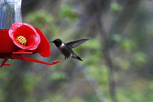 Hummingbird, Feeding, Bird, Wildlife, Nature, Animal