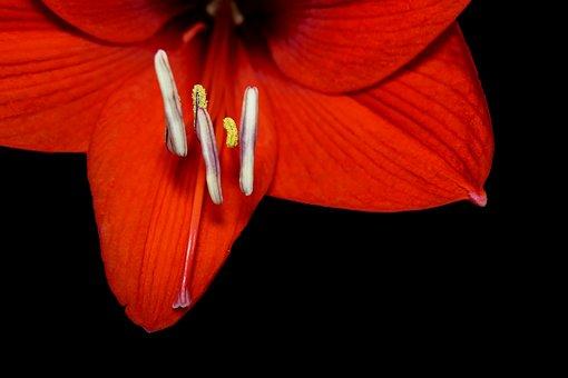 Amaryllis, Amaryllidaceae, Plant, Flower, Blossom