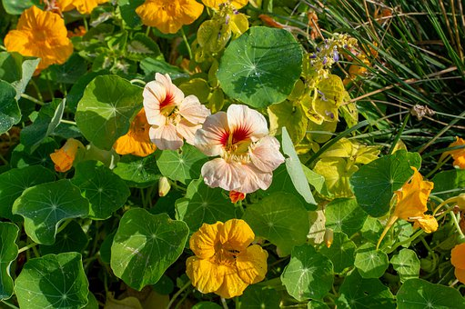 Nasturtium, Flower, Garden, Park, Orange, Bloom, Edible