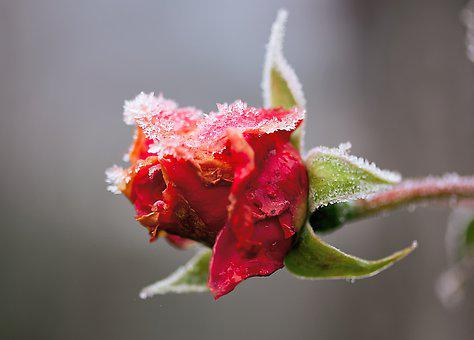 Rose, Frost, Winter, Flower, Nature