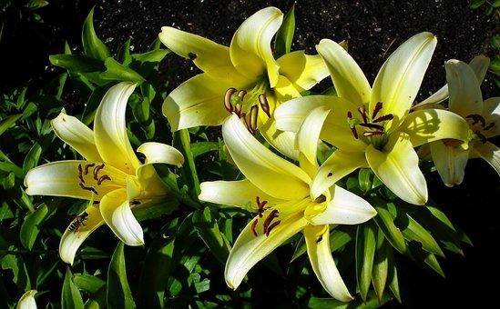 Lilies, Flowers, Garden, Nature, Summer, Closeup