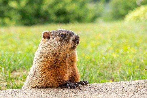 Groundhog, Animal, Cute, Nature, Mammal, Marmot, Fur