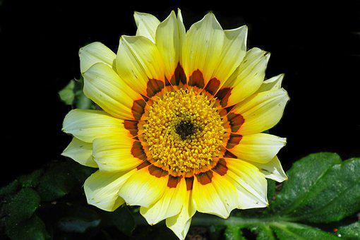 Gazania, Flower, Nature, Macro, Summer, Garden, Closeup