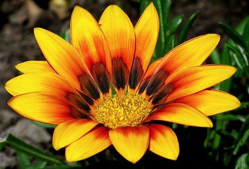 Gazania, Flower, Colored, Nature, Macro, Summer, Garden