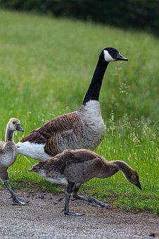 Nature, Forest, Blue, Animal, Goose, Canada Goose