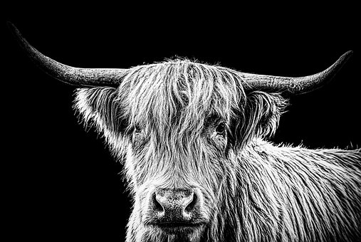 Highland Beef, Cow, Portrait, Black And White