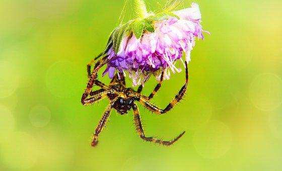 Crusader Garden, Female, Arachnid, Scary, Hairy, Insect