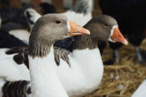 Goose, Jars, Bird, Plumage, Pen, Animal, Farm, Poultry