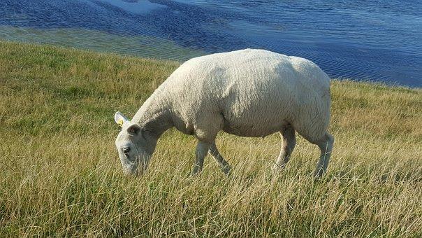 Sheep, North Sea, Grass, Water, Dike, Meadow