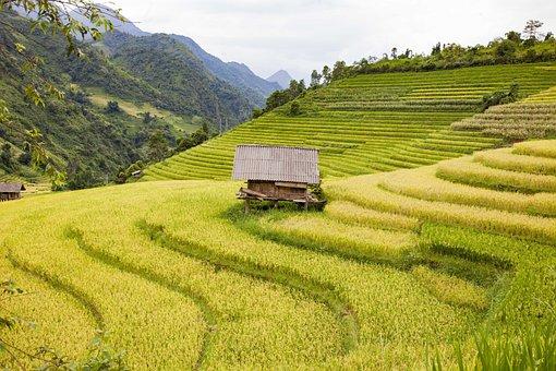 Rice Field, Mountain, Landscape, Nature, Yellow Season