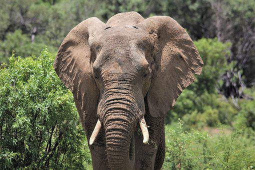 African, Elephant, Bull, Thick Skin, Animals, Nature