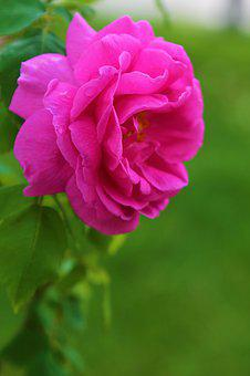 Rose, Spring, Pink, Green, Flower, Romantic, Nature