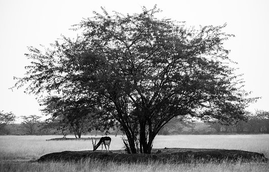 Blackbuck, Velavadar, Animals, Wildlife, Nature