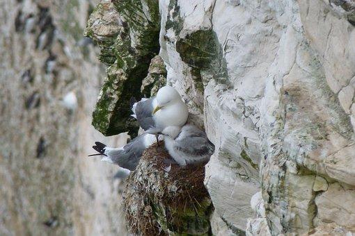 Nesting, Gulls, Cliff, Edge, Nature, Precarious