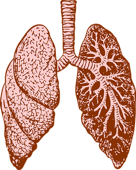 Lungs, Organ, Human, Diagram, Medicine, Biology