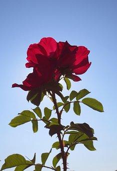 Rose, Flower, Red, Petals, Color