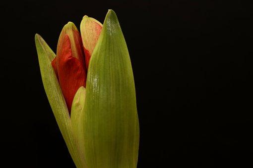 Amaryllis, Flower, Bud, Christmas, Plant