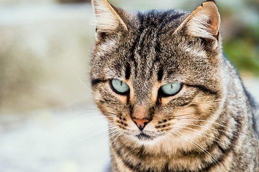 Cat, Mammal, Animal, Feline, Tiger, Fur, Predator