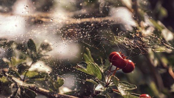 Cobweb, Berries, Red, Dewdrop, Morgentau