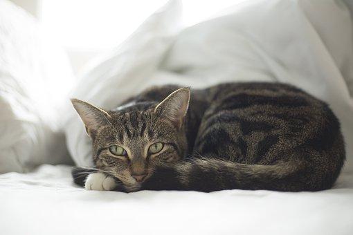 Cat, Pet, Animal, Fur, Cute, Adorable, Resting