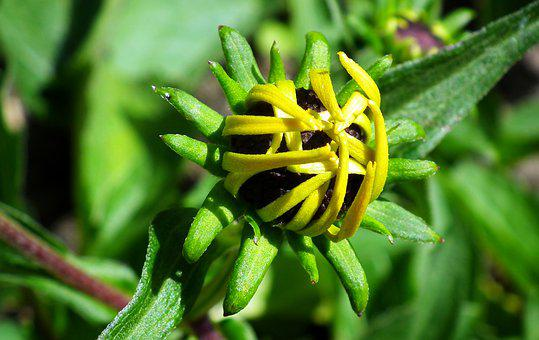Rudbeckia Golden, Flower, The Blossoming Of, Beauty