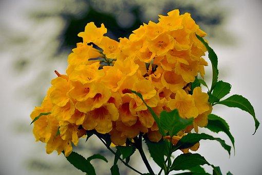 Yellow Tabebuia, Trumpet Flower, Yellow Petals, Bouquet