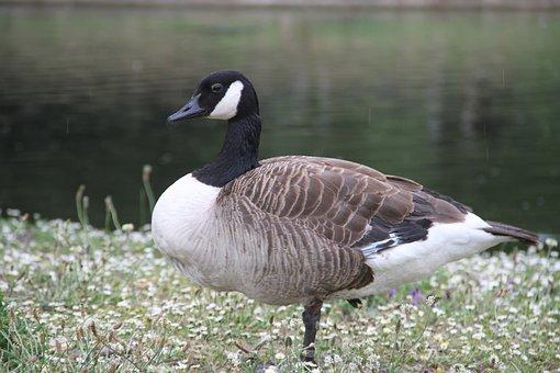Duck, Green, Bird, Nature, Animal, Mallard, Lake, Water